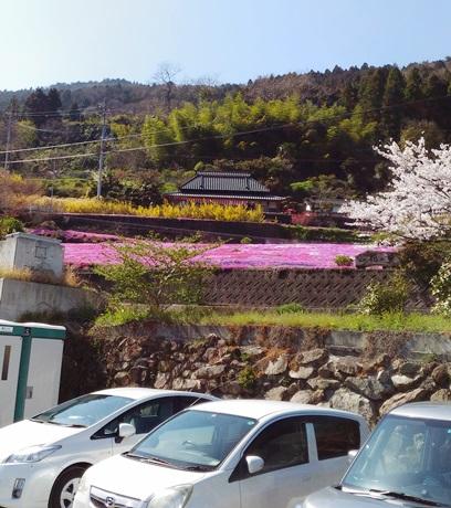 広棚の芝桜10.jpg