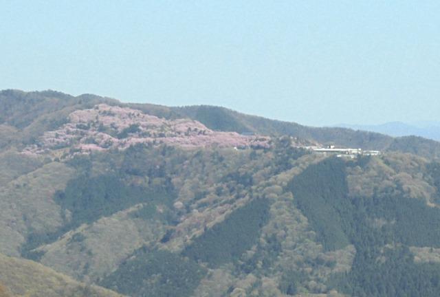 広棚の芝桜12.jpg