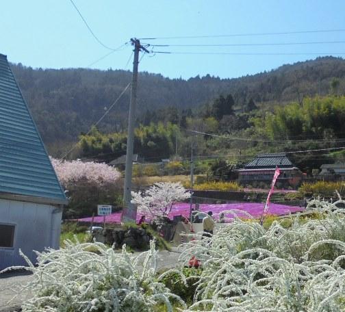 広棚の芝桜13.jpg