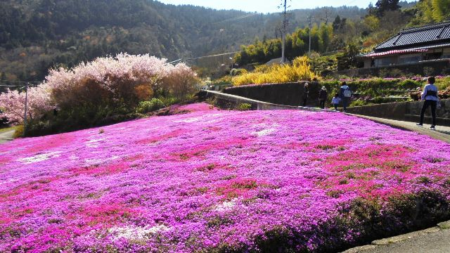 広棚の芝桜15.jpg