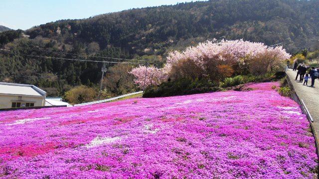 広棚の芝桜16.jpg