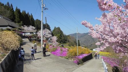 広棚の芝桜19.jpg